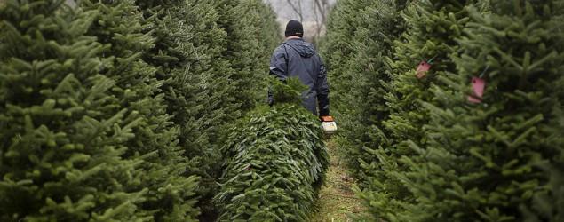 Selecting the perfect Christmas tree (Associated Press)