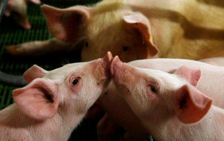 FILE PHOTO: Piglets play in a piggery at village near Warsaw April 10, 2014. REUTERS/Kacper Pempel/File Photo