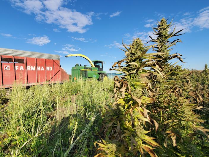Greg Nicholas, who farms near Clear Lake, harvests his hemp crop this fall. He's one of about 90 Iowans who grew the new crop this year.