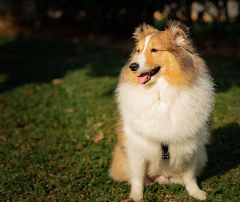 Undated photo of Prince, the Shetland sheepdog that died during its stay at Platinium and was cremated. (PHOTO: Elaine Mao/Facebook)