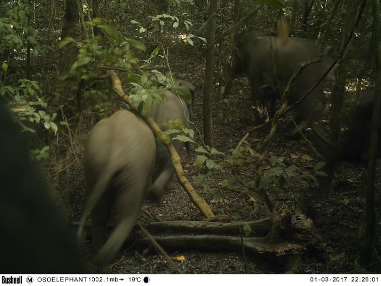 Omo, spreading across some 1,325 square kilometres of southwestern Ogun state in Nigeria, was protected as a government reserve nearly a century ago and is home to forest elephants (AFP Photo/Handout)