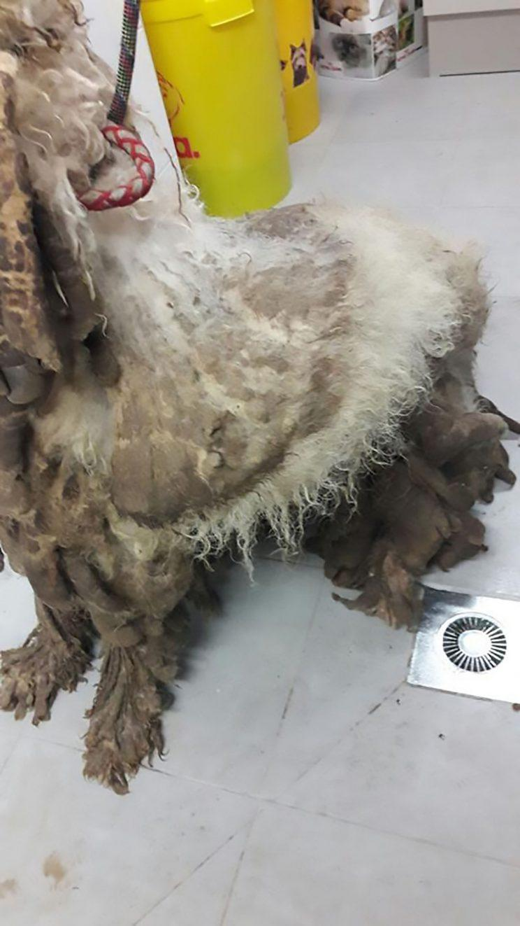 Abuse: The dog's fur had become heavily matted (CEN)