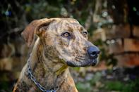 """<p>The <a href=""""https://www.dailypaws.com/dogs-puppies/dog-breeds/plott-hound"""" rel=""""nofollow noopener"""" target=""""_blank"""" data-ylk=""""slk:Plott Hound"""" class=""""link rapid-noclick-resp"""">Plott Hound</a> is a dog named after its original breeder: In 1750, a German immigrant named Johannes Plott settled in the mountains of North Carolina; accompanying him were five Hanover hounds. His son, Henry, bred the family pack to local stock and produced a big-game hunter originally known as """"Plott's hound."""" Athletic, alert, and born for bear-hunting, it became North Carolina's official state dog in 1989.</p>"""