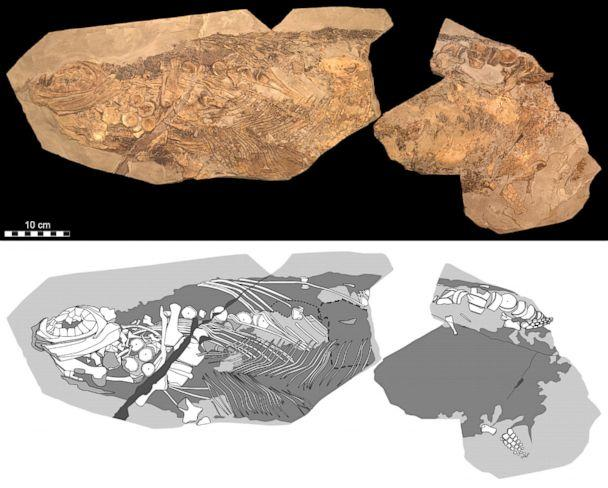 PHOTO: An 180-million-year-old ichthyosaur (literally 'fish-lizard') fossil has been discovered. Photographic (top) and diagrammatic (bottom) representation of the 85-cm-long fossil. (Johan Lindgren/Lund University )