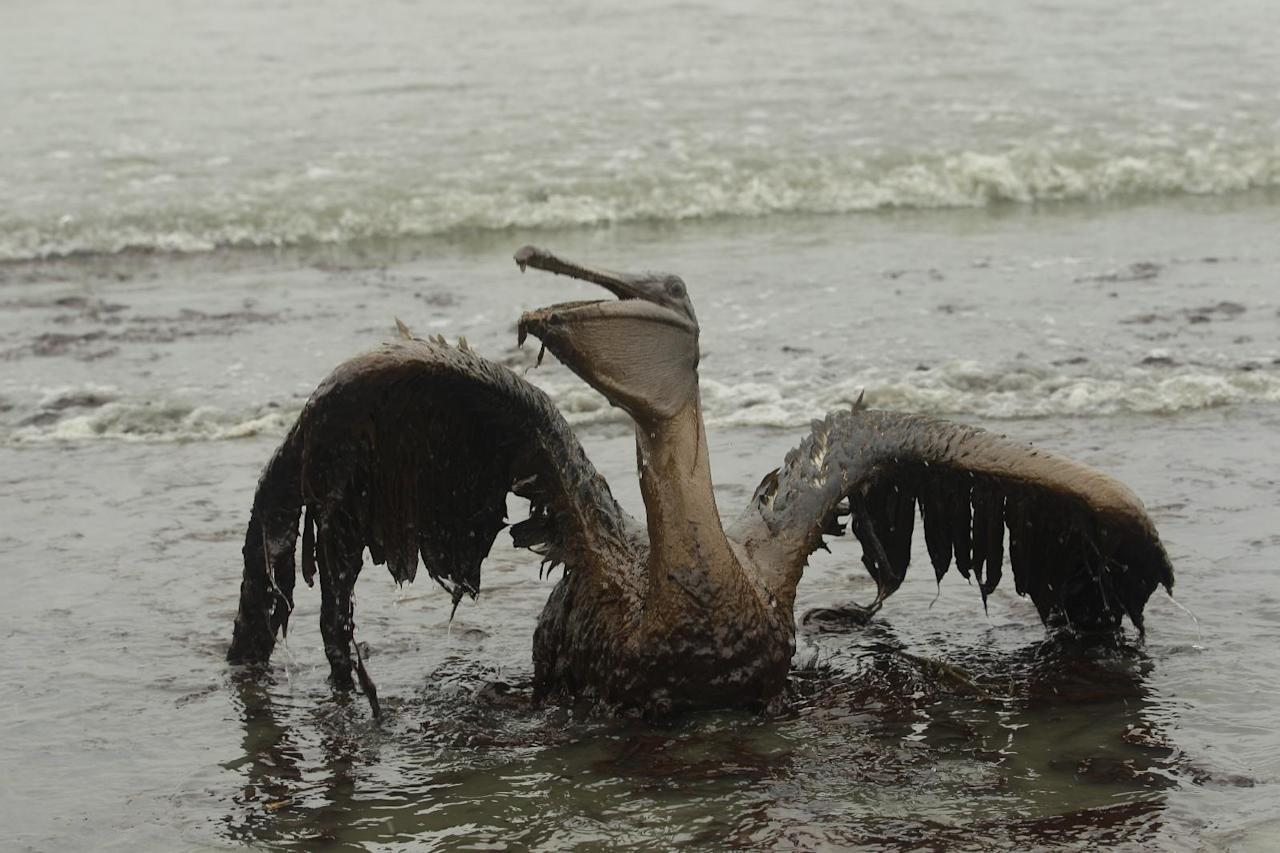 FILE - In this Thursday, June 3, 2010 file picture, a Brown Pelican tries to raise its wings as it sits on the beach at East Grand Terre Island along the Louisiana coast after being drenched in oil from the BP Deepwater Horizon oil spill. An April 20, 2010 explosion at the offshore platform killed 11 men, and the subsequent leak released an estimated 172 million gallons of petroleum into the gulf. (AP Photo/Charlie Riedel)