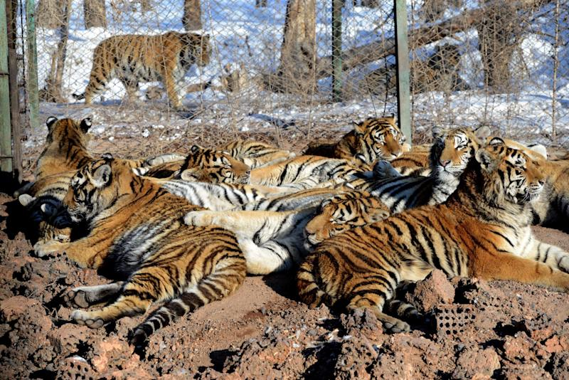 Siberian tigers in their enclosure at the Siberian Tiger Park in Harbin (AFP Photo/Goh Chai Hin)
