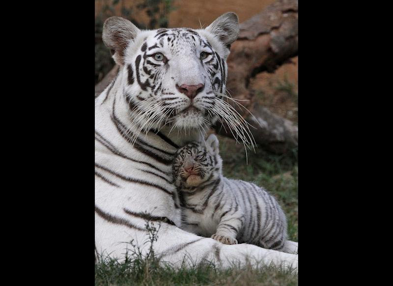 Khushi, a white tigress, rests with her newborn cub at the state zoological park in Gauhati, India, Saturday, Feb. 11, 2012. Khush gave birth to three cubs on Jan. 6. (AP Photo/Anupam Nath)