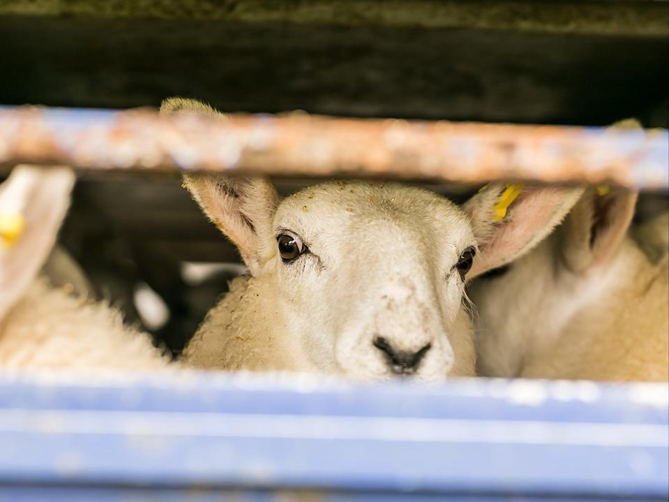 Around 6,400 live animals were exported direct to slaughter from the UK in 2018 (Getty )