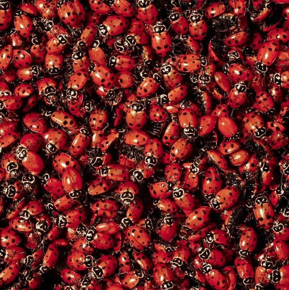"""It's hard not to smile when you spot a ladybug—but they may not seem so cute once you find out they're cannibals. An adult ladybug typically eats around 50 aphids (sap-sucking insects that gardeners despise) per day, but when there's not enough food around, they'll <a href=""""http://www.bbc.com/earth/story/20150506-the-truth-about-ladybirds"""" rel=""""nofollow noopener"""" target=""""_blank"""" data-ylk=""""slk:devour ladybug larvae and even other young ladybugs"""" class=""""link rapid-noclick-resp"""">devour ladybug larvae and even other young ladybugs</a>, which both have shells that are soft enough for an adult ladybug to chew, according to the BBC."""