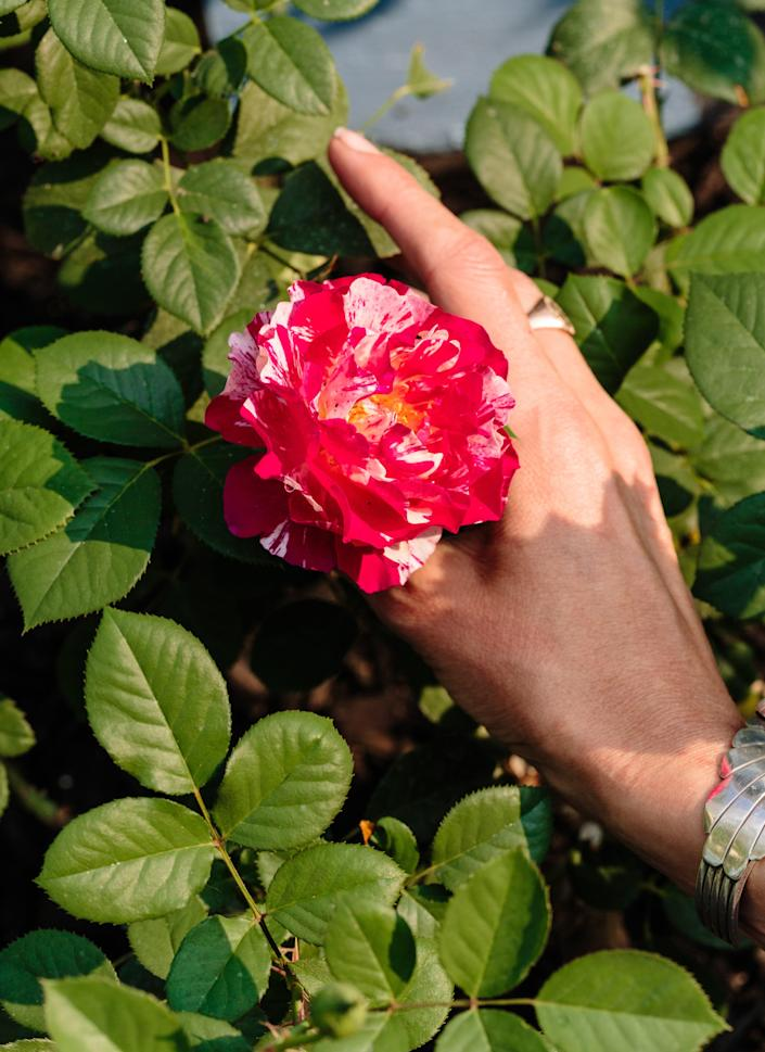 "The ""Maurice Utrillo"" rose is named after the early-to-mid-20th-century French painter."