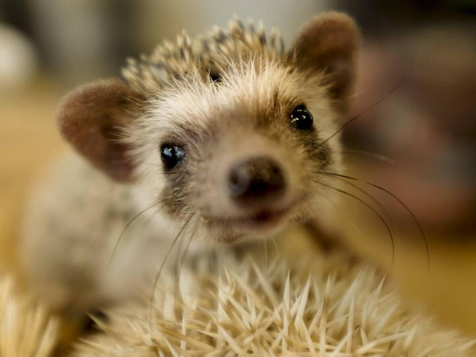 A hedgehog sits in a glass enclosure at the Harry hedgehog café in Tokyo, Japan, in this 2016 file photo. A young African Pygmy hedgehog, the most common type kept as a pet, has been returned to a pet store in Whitehorse after it was stolen early last week. (Thomas Peter/Reuters - image credit)