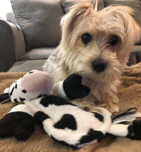 Rocco and his Hear Doggy Flatty toy. (Photo: Chewy)