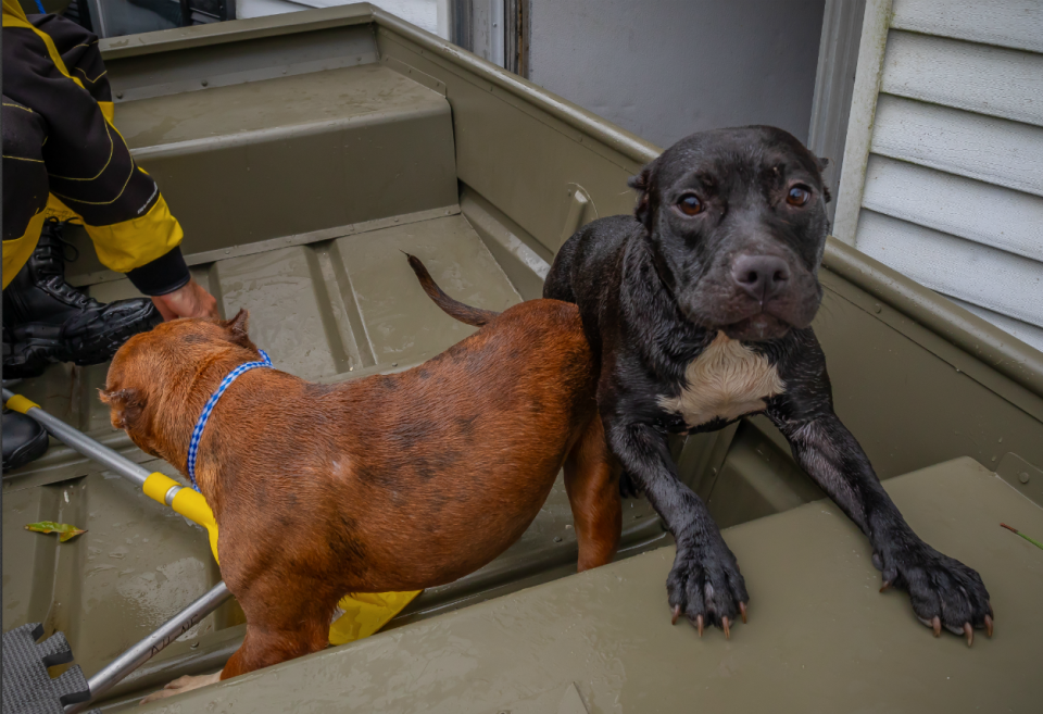 In a flooded house, American Humane found six pit bulls and two puppies, including one floating on a deceased dog. (Photo: Kenn Bell for American Humane and Code 3 Associates)