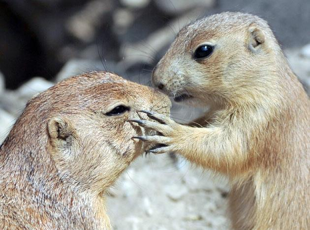 "A small Prairie dog (R) seems to kiss an older one at the zoo in Hanover on May 26, 2011, where four young prairie dogs live in a family of 16 in the so-called ""Yukon Bay"" enclosure of the zoo.      AFP PHOTO / JOCHEN LUEBKE"