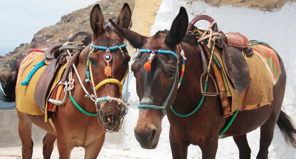 Locals have been forced to cross-breed donkeys with mules so they will be capable of carrying heavier loads. Source: Getty