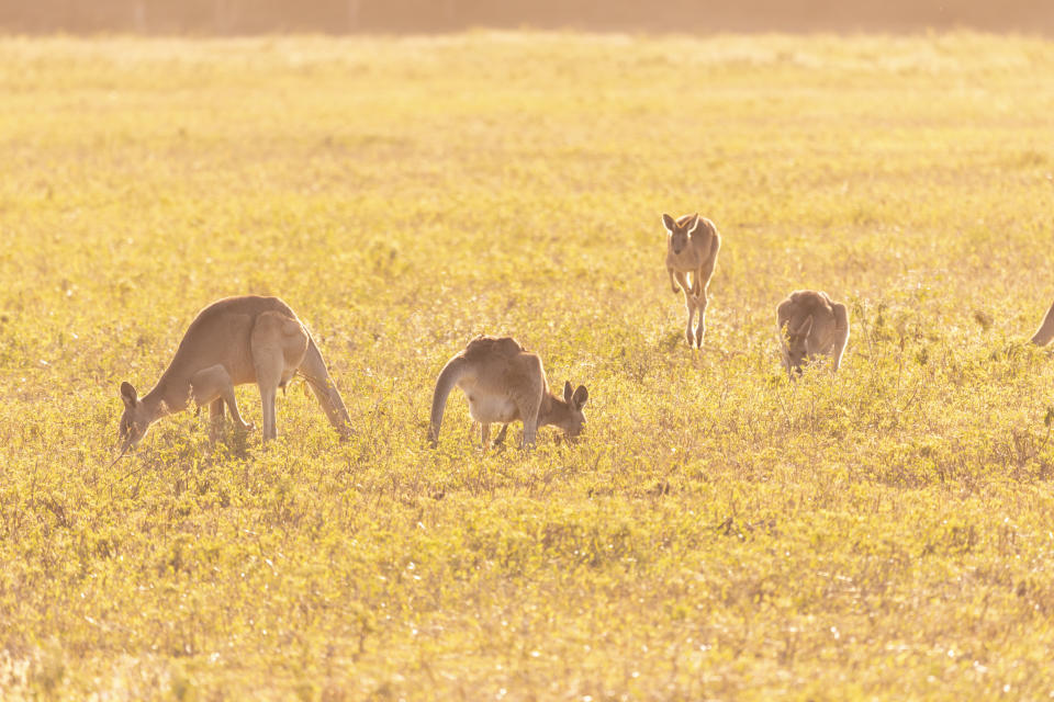 A field with kangaroos in it. There is a yellow glow to the image.