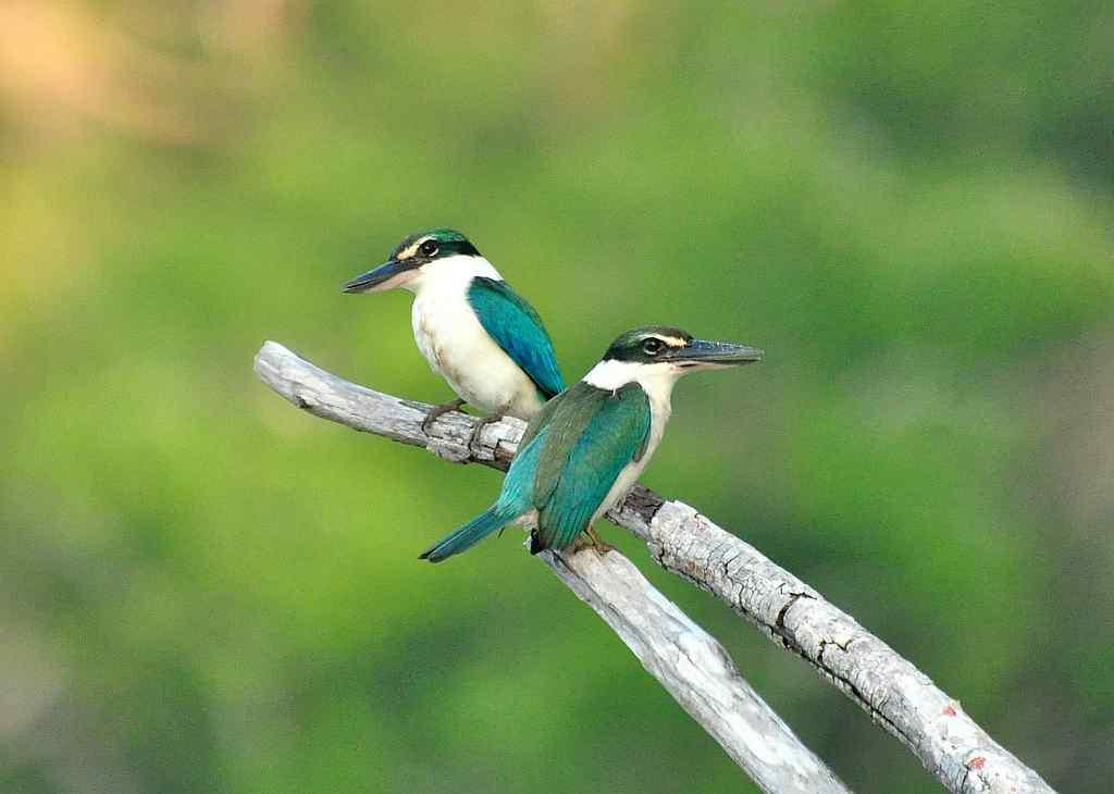 """Collared kingfishers <br>By <a target=""""_blank"""" href=""""http://www.flickr.com/photos/66558144@N08/"""">Happy Birding</a>"""