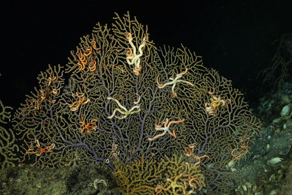 A coral community damaged by the 2010 BP oil spill.