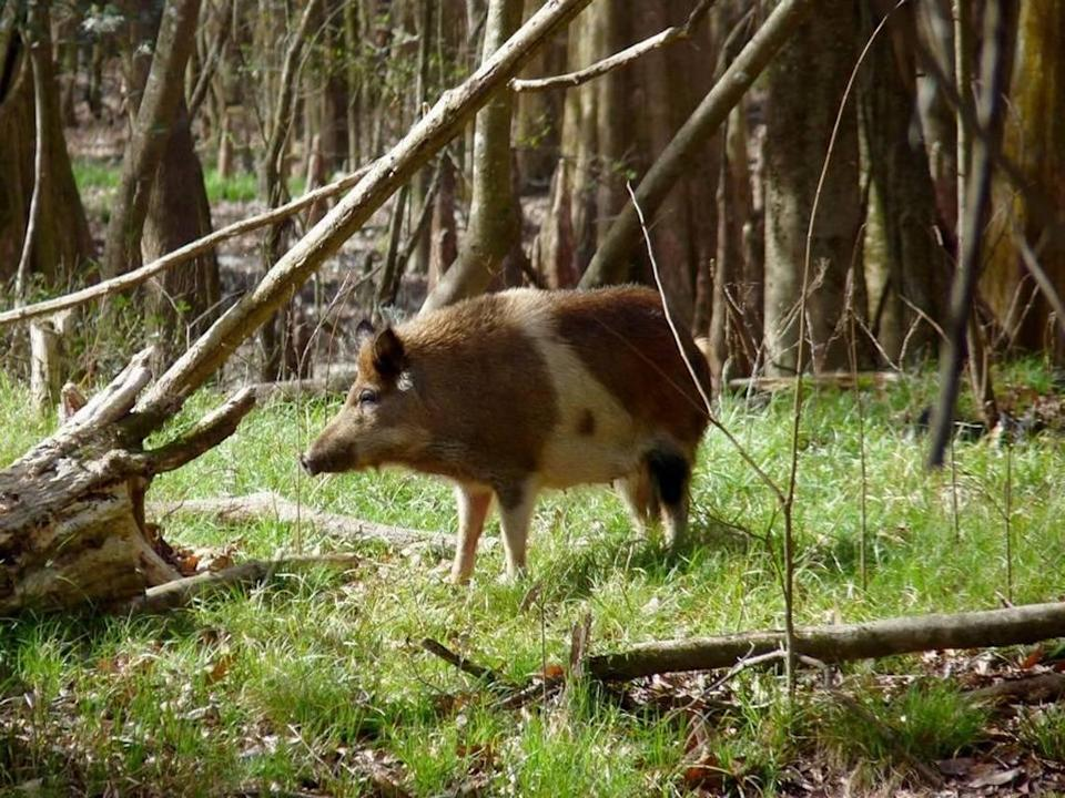 Feral pig roams Congaree National Park near Columbia, S.C. Wild hogs are chewing up the southern landscape, wildlife managers say