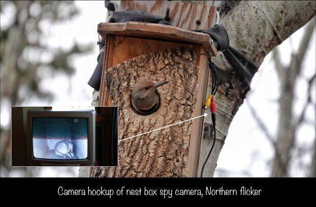 The camera allows Brian Keating to peer inside the birds' next.