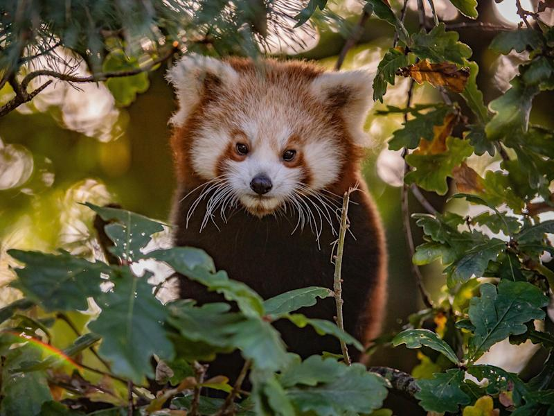 A red panda cub emerges from its Chester Zoo den in 'The Secret Life of the Zoo': Channel 4