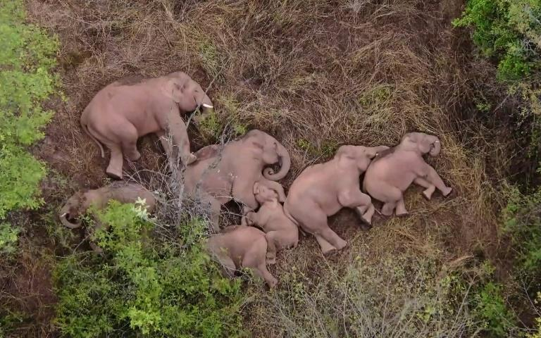 The elephant herd has travelled around 500 kilometres, and is now lingering a couple of days south of the city of Kunming