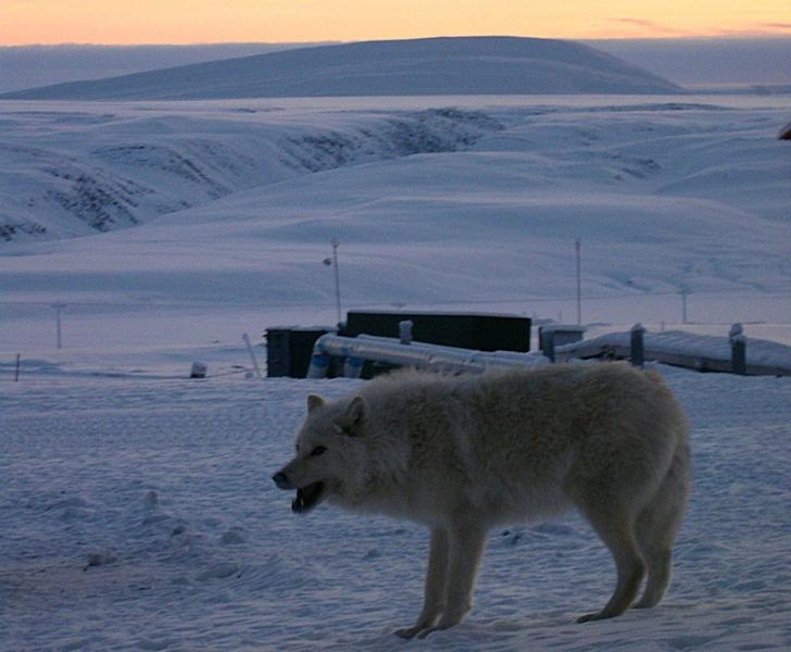 A wolf visits the Canadian Arctic military base at Alert, located less than 600 miles from the North Pole