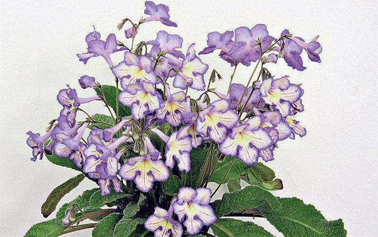 Streptocarpus 'Mabel' bears medium-sized primrose yellow trumpets, etched and veined in violet - Dibleys