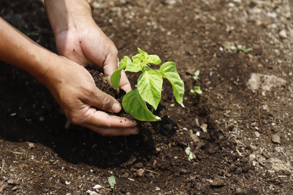 A person plants a seedling at a Planting Life site, a jobs and reforestation program promoted by Mexican President Andres Manuel Lopez Obrador, in Kopoma, Yucatan state, Mexico, Thursday, April 22, 2021. President Lopez Obrador is making a strong push for his oft-questioned tree-planting program, trying to get the United States to help fund expansion of the program into Central America as a way to stem migration. (AP Photo/Martin Zetina)