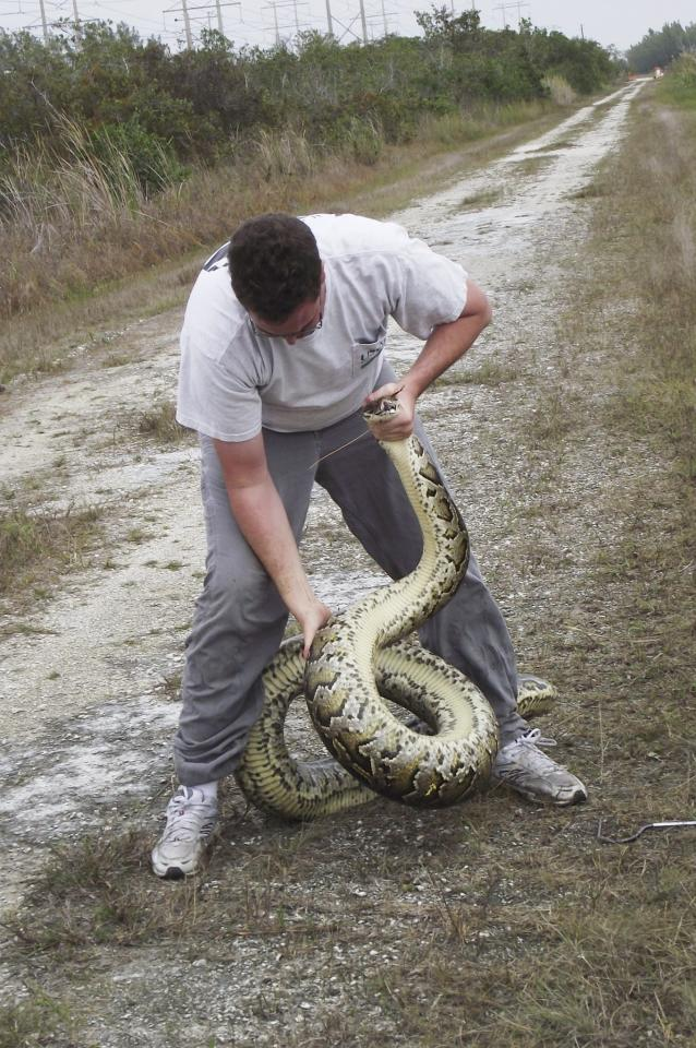 This photo provided by the South Florida Water Management District shows Josh Friers, with the U.S. Department of Agriculture's wildlife services division, catching a 13.5 foot male Burmese python along the L-28 levee in Miami-Dade County. Scientists say last year's prolonged cold snap reduced the number of pythons, which threaten native life, in the Florida Everglades _ but not as much as they hoped it would.