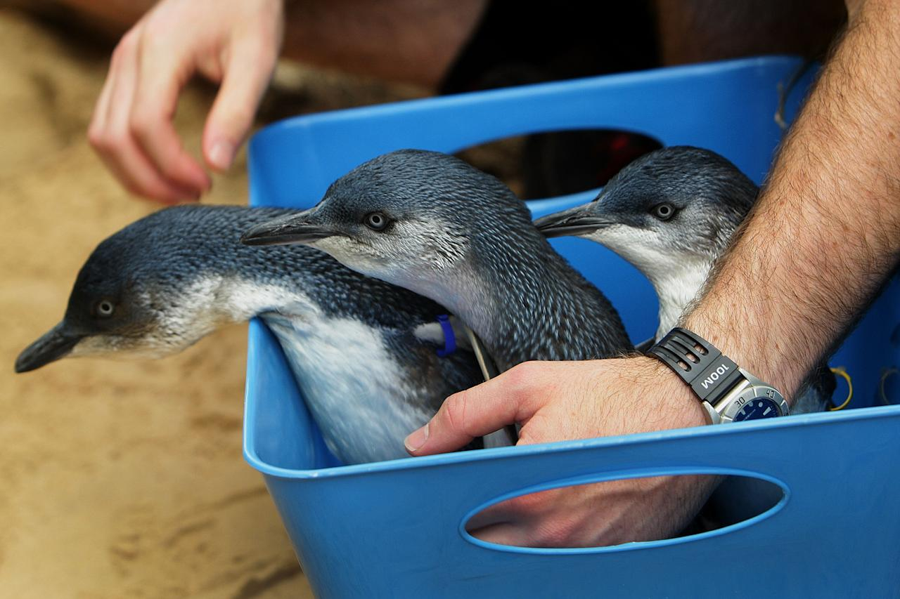 SYDNEY, AUSTRALIA - JANUARY 18:  Martin Garwood prepares to release baby penguins at Sydney Aquarium on January 18, 2012 in Sydney, Australia. Three baby penguins were released into the aquarium and reunited with their parents for the first time since birth.  (Photo by Lisa Maree Williams/Getty Images)