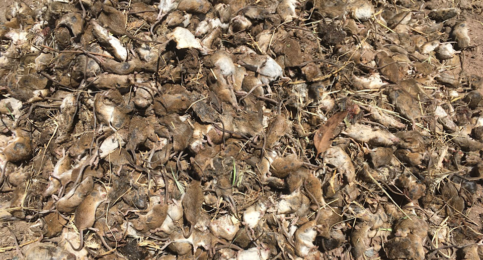 While there is widespread agreement that more must be done to tackle the mouse plague, many are concerned about the government's plan to use bromadiolone. Source: Supplied