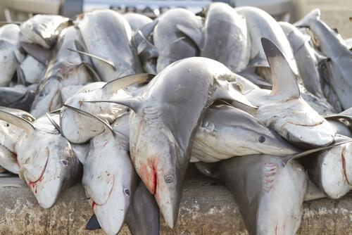 Sharks are slaughtered every year in large numbers