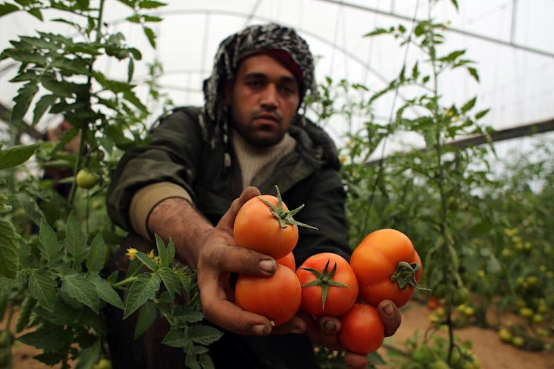 A Palestinian labourer picks tomatoes at a farm in Rafah in the southern Gaza Strip on March 12, 2015