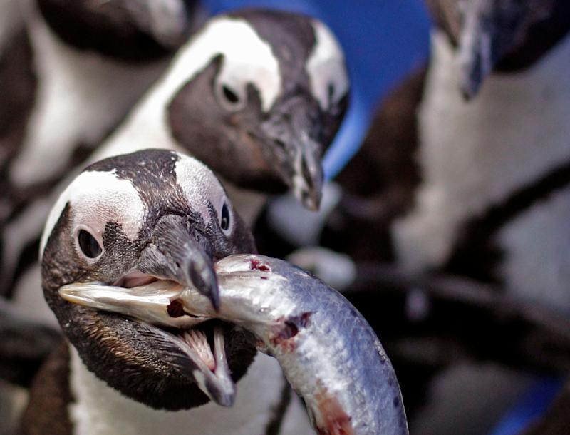 An African penguin eats a sardine handed by staff at the South African Foundation for the Conservation of Coastal Birds after they were recently found covered in oil on Robben Island, Cape Town, South Africa, Thursday, Sept 20, 2012. (AP Photo/Schalk van Zuydam)