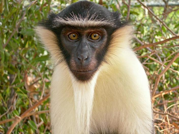 The roloway monkey is thought to be on the verge of extinction (AFP Photo/Wildlife Reserves Singapore)