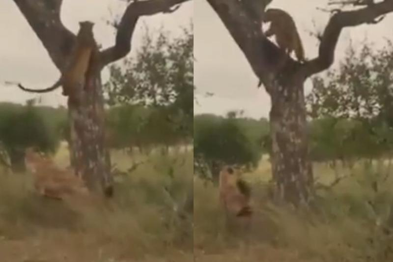 Watch: Leopard's Quick Reflex Helps him Escape from Hyena's Attack