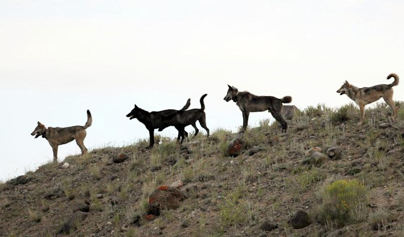 FILE - In this August 2012 file photo provided by Wolves of the Rockies, the Lamar Canyon wolf pack moves on a hillside in Yellowstone National Park, Wyo. As the progeny of wolves reintroduced to Yellowstone and central Idaho in 1995 and 1996 spread across the West, an accidental experiment has developed. A temporary court order has made Oregon a wolf-safe zone, where wildlife agents are barred from killing wolves that attack livestock. Over the past year, the numbers of wolves has risen to 46 in Oregon, but livestock attacks have remained static. In neighboring Idaho, the number livestock attacks rose dramatically as the numbers of wolves killed by hunters and wildlife agents also increased. (AP Photo/Wolves of the Rockies, File)