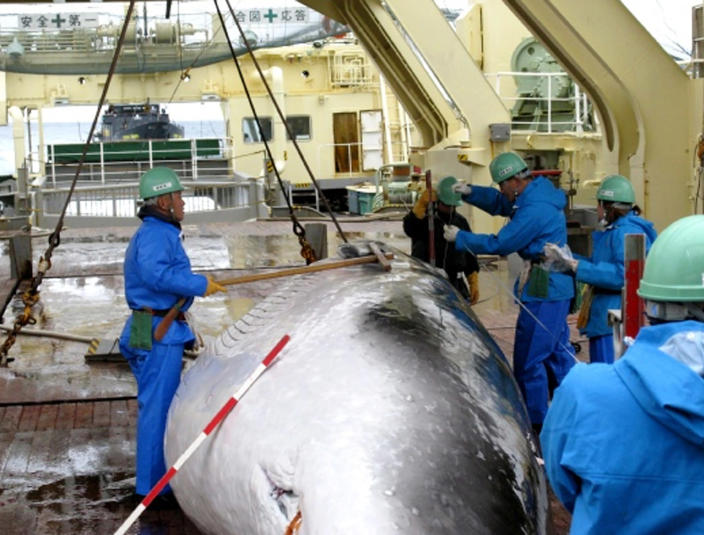 FILE - In this Feb. 8, 2009 file photo released by Japan's Institute of Cetacean Research workers measure a captured mink whale on the deck of Japanese whaling ship, the Nisshin Maru, as Sea Shepherd's ship, the M/Y Steve Irwin, partly seen at left top, follows from behind in the Ross Sea, off Antarctica. The greatest threat to Japan's whaling industry may not be the environmentalists harassing its ships or the countries demanding its abolishment, but Japanese consumers. The amount of whale meat stockpiled for lack of buyers has nearly doubled over 10 years, even as anti-whaling protests helped drive catches to record lows. More than 2,300 mink whales worth of meat is sitting in freezers while whalers still plan to catch another 1,300 whales per year. Uncertainty looms ahead of an International Court of Justice ruling expected Monday, March 27, 2014 over a 2010 suit filed by Australia, which argues that Japan's whaling - ostensibly for research - is a cover for commercial hunts. (AP Photo/The Institute of Cetacean Research, File)