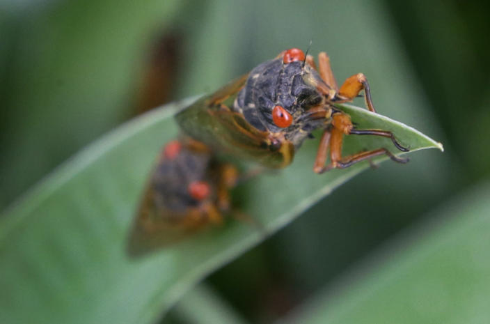 FILE - A periodical cicada lands on an Iris leaf in a garden in Lawrence, Kan., on May 29, 2015. Swarms of the red-eyed bugs reemerging after 17 years below ground offer a chance for home cooks to turn the tables: making the cicadas into snacks. Full of protein, gluten-free, low-fat and low-carb, cicadas were used as a food source by Native Americans and are still eaten by humans in many countries. (AP Photo/Orlin Wagner, File)