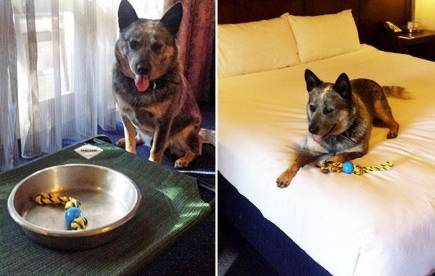 The hotel provided bedding, food, a bowl and a toy for Benny. Photo: Be