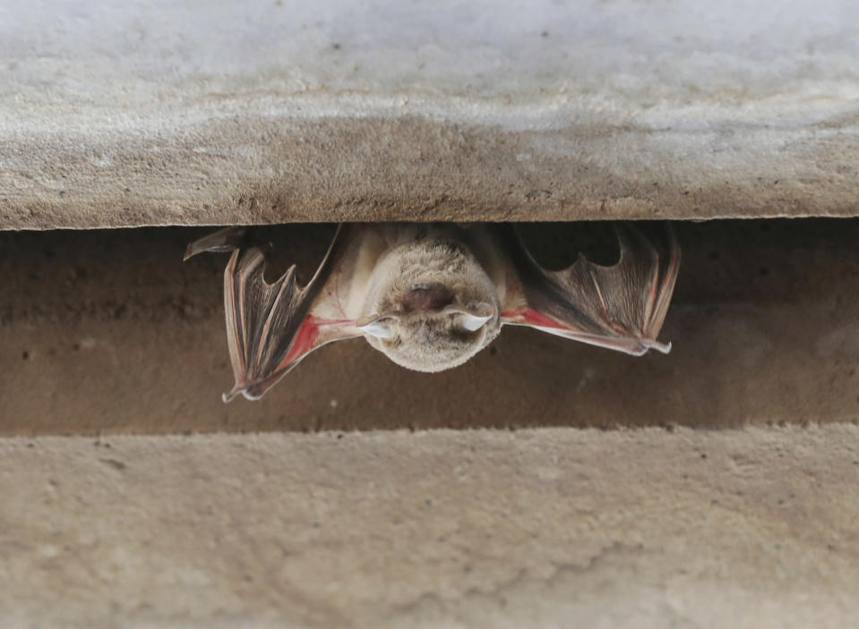 A Mexican Free-tailed bat barely hangs on under the bridge at Waugh Drive in Buffalo Bayou Park after being impacted by the winter storm Monday, Feb. 22, 2021, in Houston. Birds, bats and other wildlife appear to have taken a beating during the winter storm and deep freeze in the southern U.S. Scientists say it might take weeks or months to determine the extent of the harm. ( Steve Gonzales/Houston Chronicle via AP)