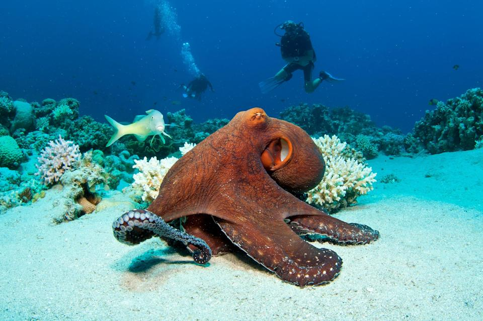 An octopus on a coral reef in the Red Sea (Getty Images/iStockphoto)