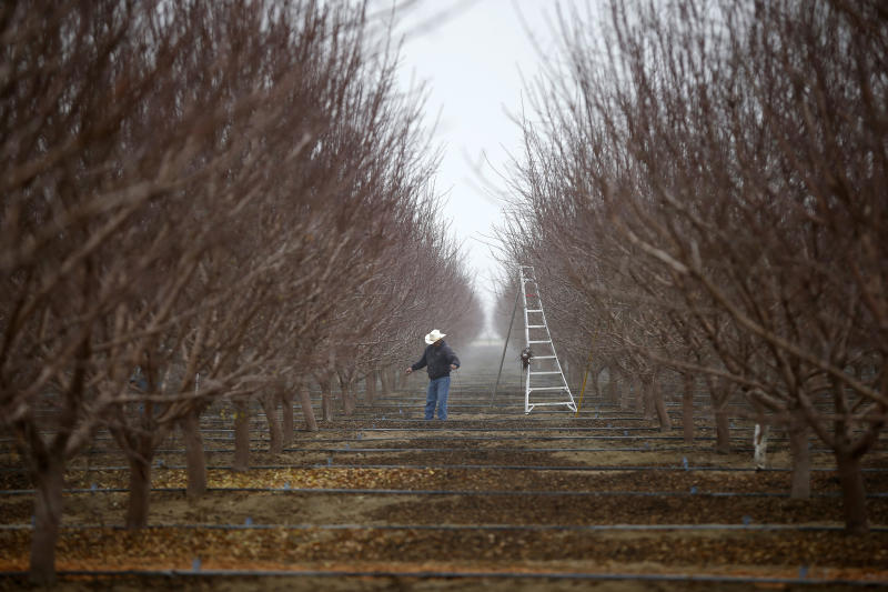 A worker prunes almond trees in an orchard near Bakersfield in the Central Valley, California, United States January 17, 2015. Almonds, a major component of farming in California, use up some 10 percent of the state's water reserves according to some estimates. California ranks as the top farm state by annual value of agricultural products, most of which are produced in the Central Valley, the vast, fertile region stretching 450 miles (720 km) north-sound from Redding to Bakersfield. California water regulators on Tuesday adopted the state's first rules for mandatory cutbacks in urban water use as the region's catastrophic drought enters its fourth year. Urban users will be hardest hit, even though they account for only 20 percent of state water consumption, while the state's massive agricultural sector, which the Public Policy Institute of California says uses 80 percent of human-related consumption, has been exempted. REUTERS/Lucy Nicholson