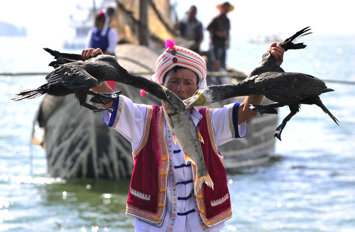A Chinese Bai ethnic minority fisherman pulls two cormorants away from a fish during Erhai lake fishing opening festival in Dali, Yunnan province September 28, 2011. The cormorants are domesticated for fishing. (Photo: REUTERS/Stringer)