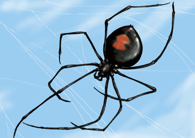 Black widow spiders are one of the most feared species. (Photo: Getty Images)