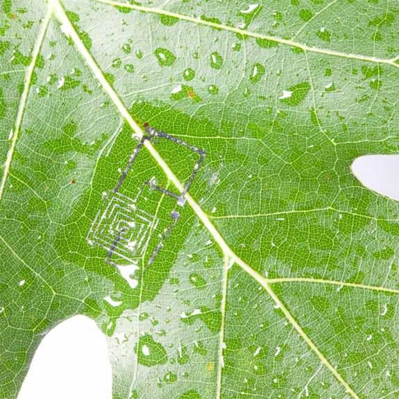 Biodegradable electronic circuits begin to dissolve in water on the edge of a leaf.