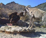 FILE - In this 2012 photo from a U.S. Fish and Wildlife Service motion-activated camera, a golden eagle confronts a desert bighorn sheep at Desert National Wildlife Refuge in Nevada. Despite drought, cities in the U.S. West expect their populations to grow considerably in the coming decades. From Phoenix to Boise, officials are working to ensure they have the resources, infrastructure and housing supply to meet growth projections. In certain parts of the region, their efforts are constrained by the fact that sprawling metro areas are surrounded by land owned by the federal government. U.S. Sen. Catherine Cortez Masto wants to remedy the issue in Las Vegas by strengthening protections for some public lands while approving the sale of others to commercial and residential developers. (U.S. Fish and Wildlife Service via AP, File)