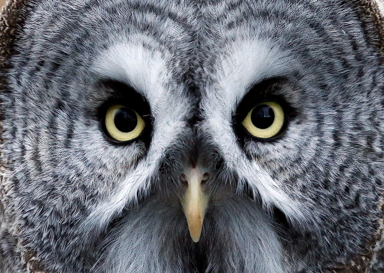 Mykh, a 1.5-year-old great gray owl, is pictured during a training session which is a part of Royev Ruchey Zoo's programme of taming wild animals for research, education and interaction with visitors, in a suburb of the Siberian city of Krasnoyarsk, Russia October 17, 2017. REUTERS/Ilya Naymushin