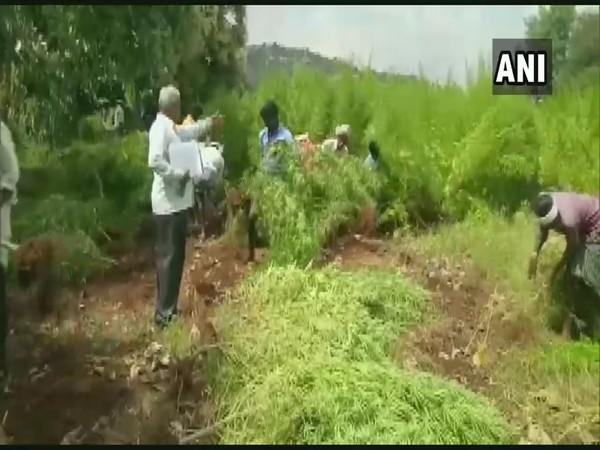A team of Rampura Police have seized a four-acre land that was being used to illegally grow marijuana. (Photo/ANI)